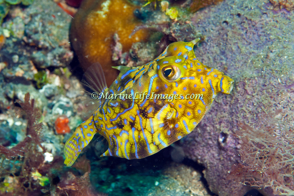 Thornback Cowfish inhabit sand, rubble and weed bottoms, often near reefs. Picture taken Raja Ampat, Indonesia.