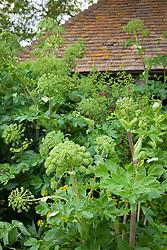 Angelica archangelica growing in the oast garden