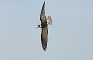 White-winged Black Tern - Chlidonias leucopterus - Juvenile