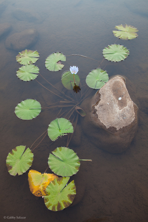 Lily in river near Hamakuya, a Venda village in Limpopo Province, South Africa.