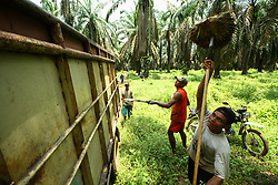 March 27, 2019 - Banyuasin, South Sumatra, Indonesia - SOUTH SUMATRA, INDONESIA - MARCH 28 : Indonesian workers are harvesting oil palm at Banyuasin on March 27, 2019 in South Sumatra Province, Indonesia. Indonesia is the largest exporter of palm oil to Europe, the European Union will stop using palm oil altogether as biofuels by 2030. (Credit Image: © Sijori Images via ZUMA Wire)