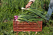 """Red Long Tropea"" Onions"
