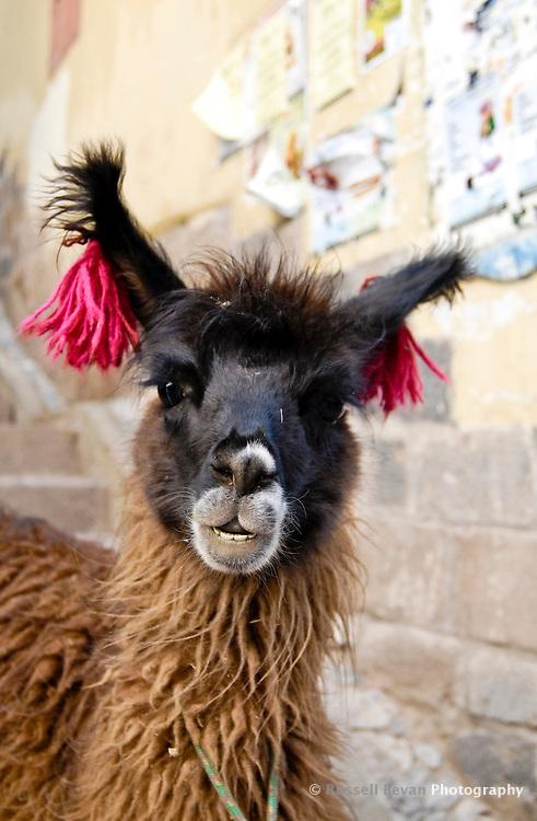 A llama poses for a photo in Cusco, Peru