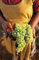 ca. March 1999, South Africa --- Vineyard Worker Holding Grapes --- Image by © Owen Franken/CORBIS