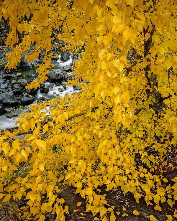 Icicle Creek and cottonwood tree, Wenatchee National Forest, Washington, USA.