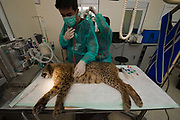 Iberian Lynx (Lynx pardinus) <br /> El Acebuche Breeding Center, Matalascañas, Huelva. SPAIN<br /> JUB a wild-caught male lynx from Sierra Morena. When caught it was in very bad condition having also nearly lost an eye after a suspected fight with another, more dominant, lynx.  It was brought into the EXSITU captive rearing centre of Acebuche in Doñana. This male now forms part of the breeding stock of the captive reared animals which are bred for future release back into the wild.  He is undergoing a thorough medical check-up after having shown signs of lethargy and general loss of condition. <br /> RANGE: Iberian Penninsula of Spain & Portugal.<br /> CITES 1, CRITICAL - DANGER OF EXTINCTION<br /> Fewer than 200 animals in the wild. There is a reduced genetic variability due to their small population. They have suffered due to hunting, habitat loss, road accidents, reduced food supply due to desease in rabbits (Myxomatosis & RHD) - their base food supply. Deseases such as feline leukaemia<br /> A medium sized cat weighing 12-15kgs, Body length 90cm, Shoulder height 45-50cm. They have a mottled fur pattern, (3 varieties of fur pattern found between the different populations and distinguishing them geographically)  short tail, ear tufts and are bearded. They are territorial cats although female cubs have been found to share their mother's territory. Mating occurs in Dec/Jan and cubs born around April. They live up to 13 years.<br /> <br /> Mission: Iberian Lynx, May 2009<br /> © Pete Oxford / Wild Wonders of Europe<br /> Zaldumbide #506 y Toledo<br /> La Floresta, Quito. ECUADOR<br /> South America<br /> Tel: 593-2-2226958<br /> e-mail: pete@peteoxford.com<br /> www.peteoxford.com