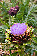Globe artichoke, Cynara Scolymus Glauca, vegetable growing in kitchen garden, Sussex