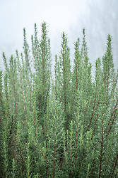 Rosmarinus officinalis 'Miss Jessopp's Upright' - rosemary - on a foggy winter's morning