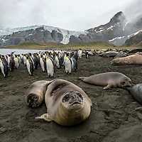Southern elephant seal weaners on the beach with king penguins in a massive breeding colony at Gold Harbour on South Georgia Island.