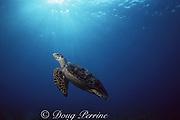 hawksbill turtle, Eretmochelys imbricata, Bahamas ( Western Atlantic Ocean )