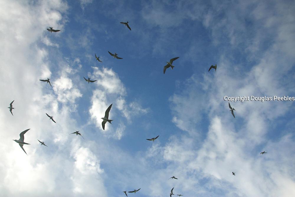 Birds (sooty terns), Ducie Island, Pitcairn Group<br />