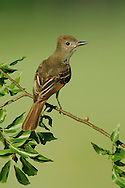 Great Crested Flycatcher - Myiarchus crinitus