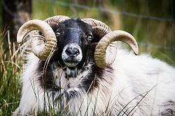 Blackface sheep ram in Sheeffrey Hills, County Mayo, Ireland