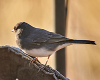 Dark-eyed Junco (Junco hyemalis). Image taken with a Nikon D850 camera and 600 mm f/4 VR lens.