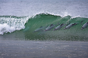 A nice line-up of six endangered Hector's dolphins surfing a breaking wave at Curio Bay, New Zealand.