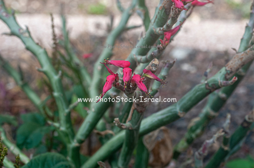 Euphorbia tithymaloides (Devil's Backbone) Photographed in Tel Aviv, Israel in May