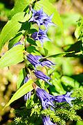Purple, Alpine wildflower, Photographed in Austria, Tyrol
