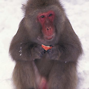 Snow Monkey or Japanese Red-faced Macaque, (Macaca fuscata)  eating apple. Japan.