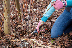 Pruning autumn fruiting raspberries in winter. Cutting stems right back to the ground.