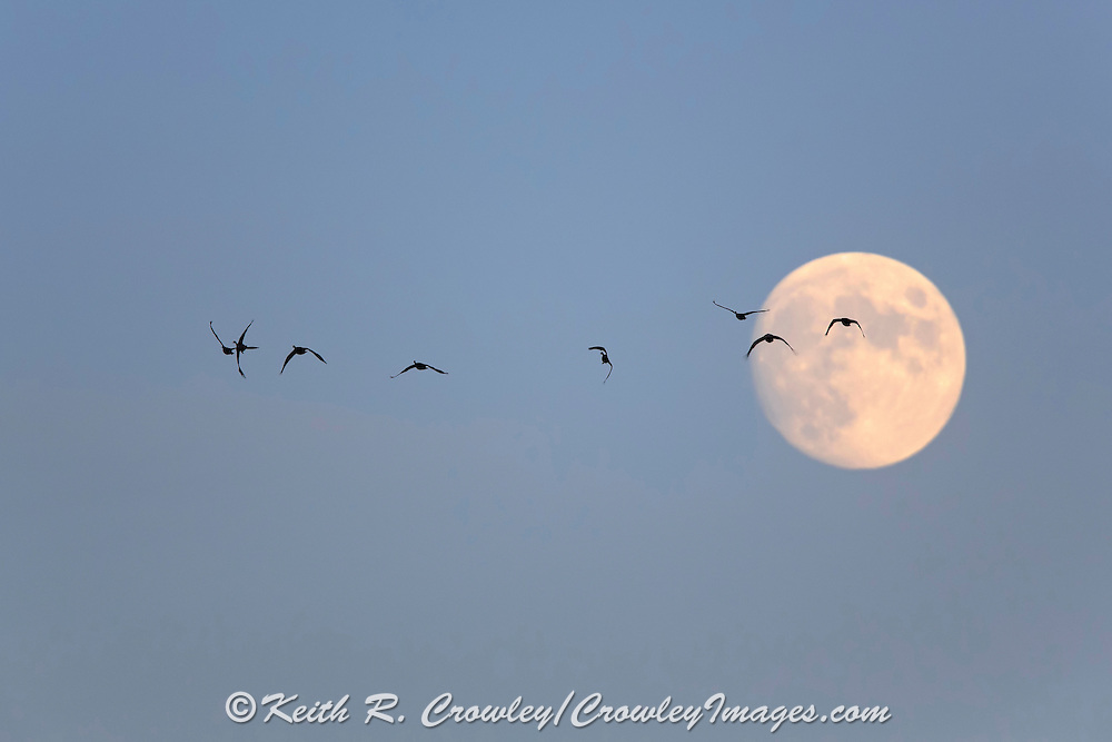 Sandhill Cranes and Canada geese together in Flight with full moon.