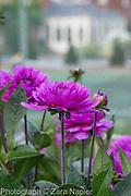 Dahlia 'Lavender Perfection' - September