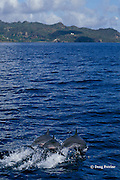 spinner dolphins, Stenella longirostris, off coast of St. Vincent, Saint Vincent and the Grenadines, West Indies ( Eastern Caribbean Sea )