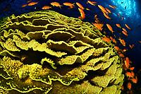 26/Noviembre/2018 Egipto. Mar Rojo.<br /> Peces anthia junto a un ejemplar de coral mesa en una inmersión en el Mar Rojo.<br /> <br /> © JOAN COSTA