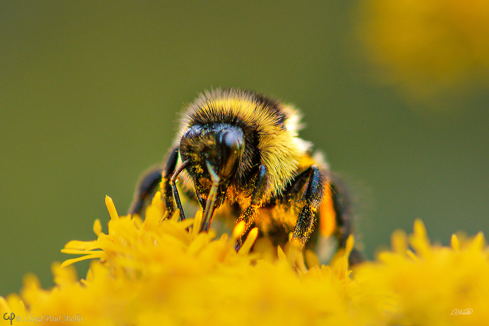 A bumblebee (genus Bombus) gathers nectar from a flowering Goldenrod (Solidago) plant.  Goldenrod belongs to a genus of about 100 species in the aster family which are mostly native to North America. Bumblebees, like their relatives the honeybees, feed on nectar using a long hairy proboscis which is folded under the head during flight. Numerous yellow grains of pollen can be seen adherent to this bee's legs, demonstrating why bumblebees are important agricultural pollinators.  Over 250 species of bumblebee are known, being found primarily at higher altitudes or latitudes in the Northern Hemisphere, although they are also found in South America.