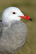 Heerman's Gull - Larus heermanni