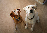 SHOT 12/28/17 10:11:40 AM - Cousins Tanner, a 13 year old male Vizsla, and Madie, a two year-old female Labrador Retriever, beg for a dog treat in Albuquerque, N.M. (Photo by Marc Piscotty / © 2017)