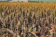Pirajuba_MG, Brasil...Plantacao de sorgo em Pirajuba, Minas Gerais...The sorghum agriculture in Pirajuba, Minas Gerais...Foto: LEO DRUMOND / NITRO