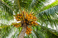 Yellow coconut palm tree with lots of coconuts