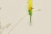Digitally enhanced image of a White-throated Bee-eater (Merops albicollis) on a twig. Photographed at Samburu National Reserve, Kenya in February