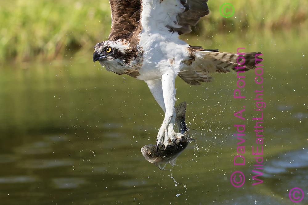 Osprey flies with a trout it has just caught,aligning the fish with the flight direction to minimize drag. © David A. Ponton