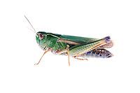 IFTE-NB-007233; Niall Benvie; Omocestus viridulus; grasshopper; Europe; Austria; Tirol; Fliesser Sonnenhänge; insect invertebrate arthropod; horizontal; high key; green white; controlled; adult; one; grassland woodland edge meadow; 2008; July; summer; strobe backlight; Wild Wonders of Europe Naturpark Kaunergrat