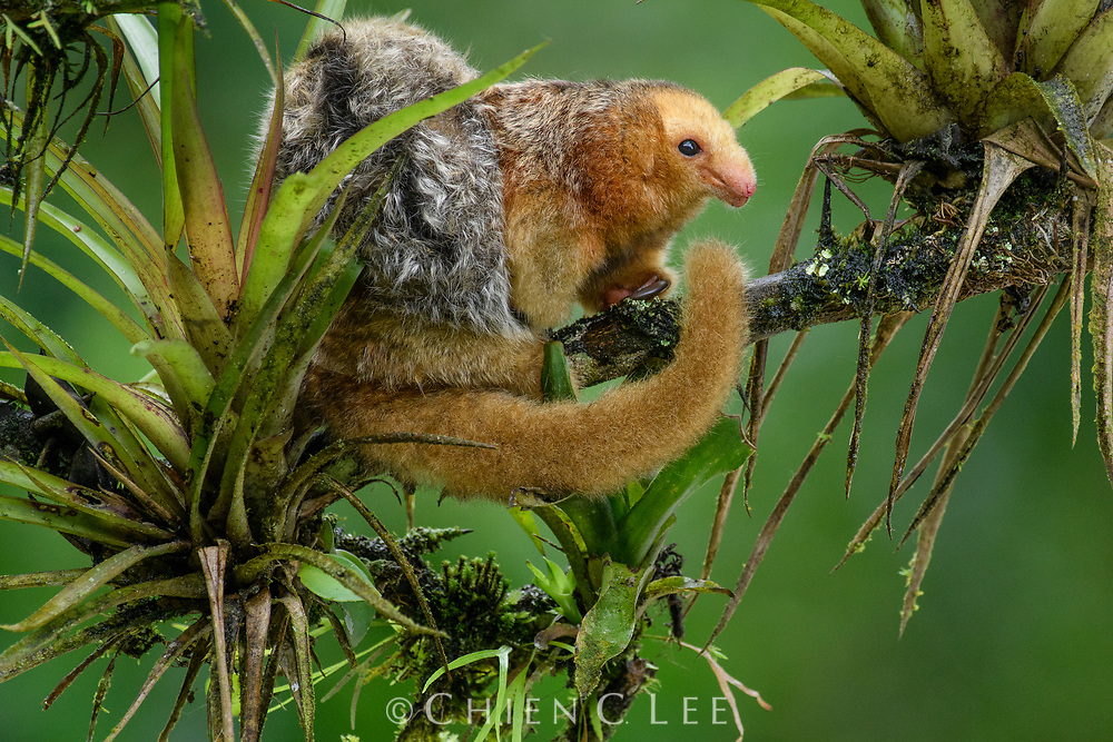 Smallest of all the anteaters, the Silky Anteater (Cyclopes didactylus) is seldom seen because it spends much of its life high in the rainforest canopy, often curled up as an indistinguishable ball of fluff. They have no teeth and can only defend themselves by means of their razor sharp sickle-like fore-claws, which are usually used for tearing open ant nests. Females bear a single youngster at a time, which is carried on their back until large enough to feed on its own. Esmeraldas, Ecuador.