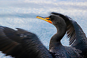 A double-crested cormorant (Phalacrocorax auritus) stretches its wings after fishing in Puget Sound near Edmonds, Washington.