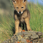 A portrait of a coyote pup during the spring in the Rocky Moutains of Montana. Captive Animal