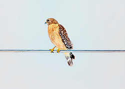 A Red Shouldered Hawk Perched On A Utility Wire Showing His Good Side