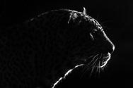 Territorial male leopard (Panthera pardus) at night, Inyati Private Game Reserve in the west of the Kruger Nationa Park, South Africa<br /> <br /> Maennlicher Leopard (Panthera pardus) aus dem Inyati Private Game Reserve im Westen des Krueger Nationalparks zu Beginn der Regenzeit im November