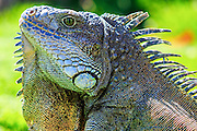 Close up of a male green iguana (iguana Iguana) with spines and dewlap Photographed in Parque de las Iguanas, Guayaquil, Ecuador