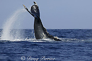 humpback whale, Megaptera novaeangliae, inverted tail slap, hemispherical lobe (present only in females) visible behind genital slit, which is surrounded by barnacles, Kona, Hawaii, USA, caption must note photo was taken under NMFS research permit #587