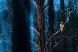 Northern Hawk-Owl (surnia ulula) at night in Norway