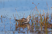 A Wilson's Phalarope amid the reeds and alkali flies on the shore of Mono Lake.