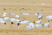 Snow Geese and Pintails near Freezeout Lake, Montana