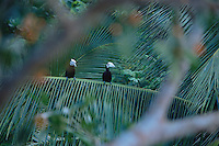 Endangered Palawan hornbills (Anthracoceros marchei) perched on a palm frond..Palawan Island, Philippines.
