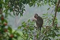 Long-tailed Macaque (Macaca fascicularis) feeding in a fruiting strangler fig tree (Ficus dubia) in heavy rain.