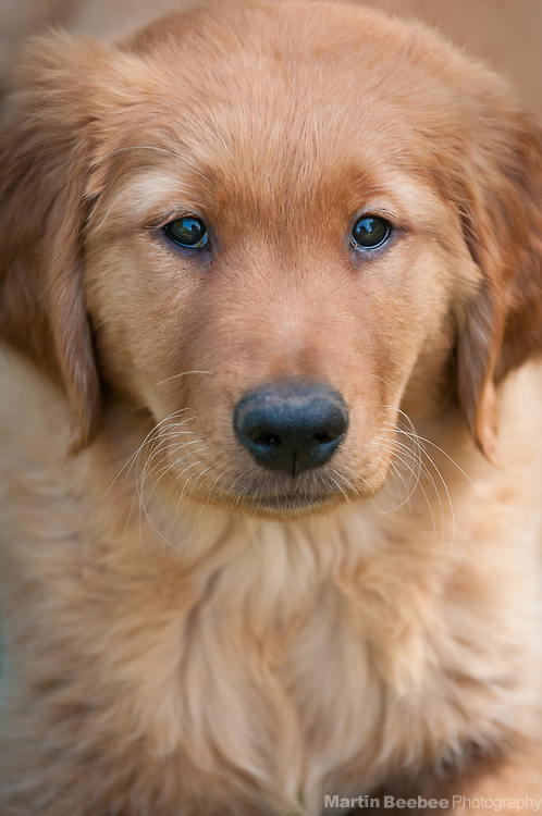 Ten week old golden retriever puppy