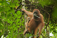 Adult female Walimah with one month old infant.<br />Holding a leaf in mouth before eating it.<br /><br />Bornean Orangutan <br />Wurmbii Sub-species<br />(Pongo pygmaeus wurmbii)<br /><br />Gunung Palung Orangutan Project<br />Cabang Panti Research Station<br />Gunung Palung National Park<br />West Kalimantan Province<br />Island of Borneo<br />Indonesia