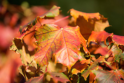 © Licensed to London News Pictures. 22/09/2015. Leeds, UK. Picture shows leaves turning red on tree's in Temple Newsam park in Leeds on the first day of astronomical Autumn which happens with the Equinox of September the 22/23. Photo credit: Andrew McCaren/LNP